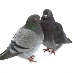 Contractors Should Stop Pigeon Advertising
